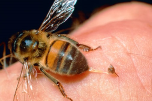 Bee-Venom Therapy: Too Risky for Potential Benefits?