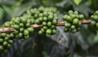 Green Coffee Extract: A Weight-Loss Aid?